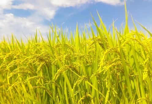 麦の穂イメージ2